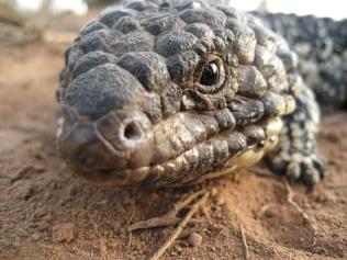 Sleepy Lizard, Tiliqua rugosa