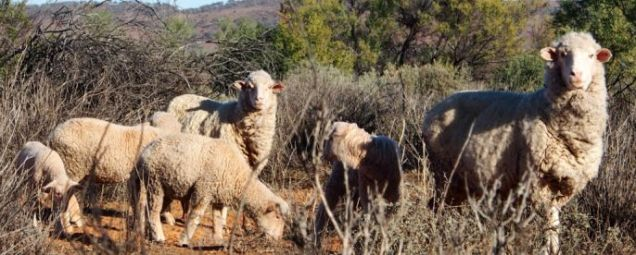 Group of sheep at Fowlers Gap
