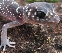Gecko U. milii
